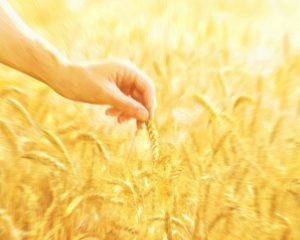 First-fruits of God's Harvest  – Chapter 12